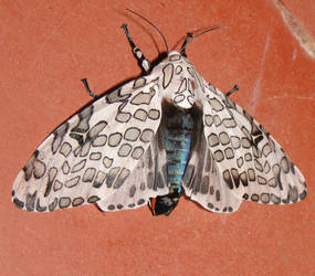 Leopard moth by bslirabsl