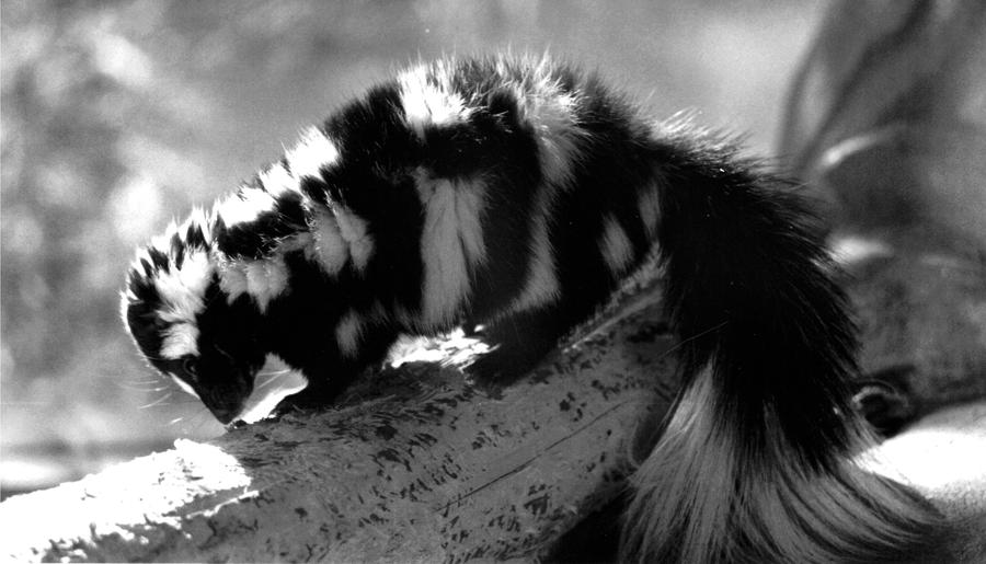 Little Spotted Skunk by FrosteeFox