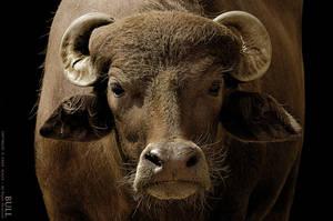 Bull by OmarAziz