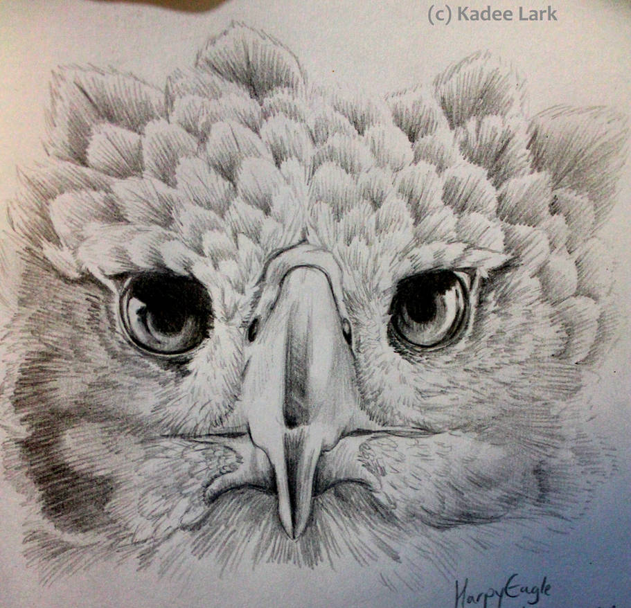 Harpy eagle pencil sketch by kadeelark
