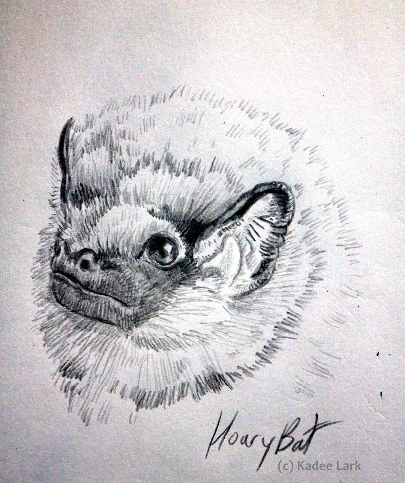 Hoary bat pencil sketch by kadeelark on deviantart
