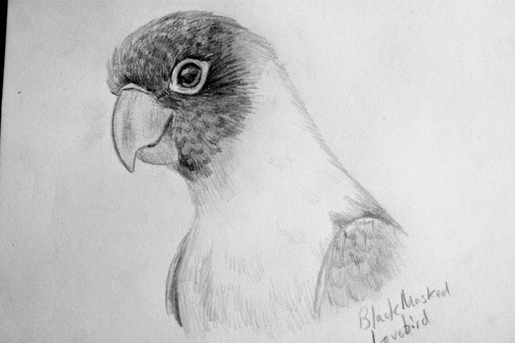 Black masked lovebird pencil sketch by kadeelark