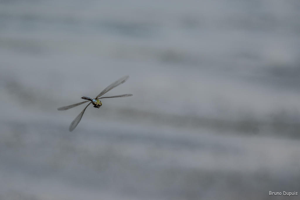Flying dragonfly by BD-76