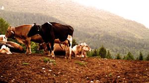 Mucche.