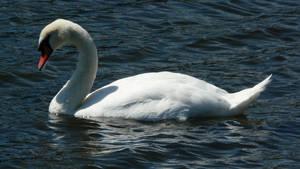 V.P.Stock- Swan 7