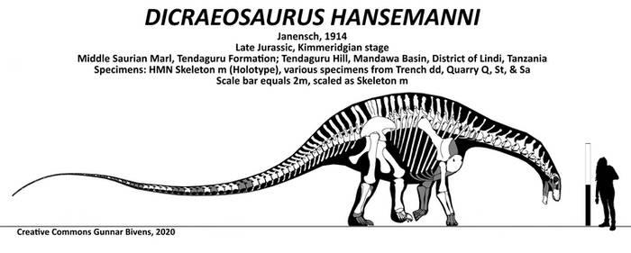Dicraeosaurus hansemanni Skeletal