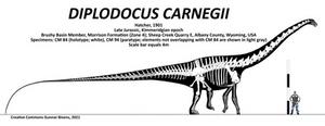 Diplodocus carnegii Skeletal
