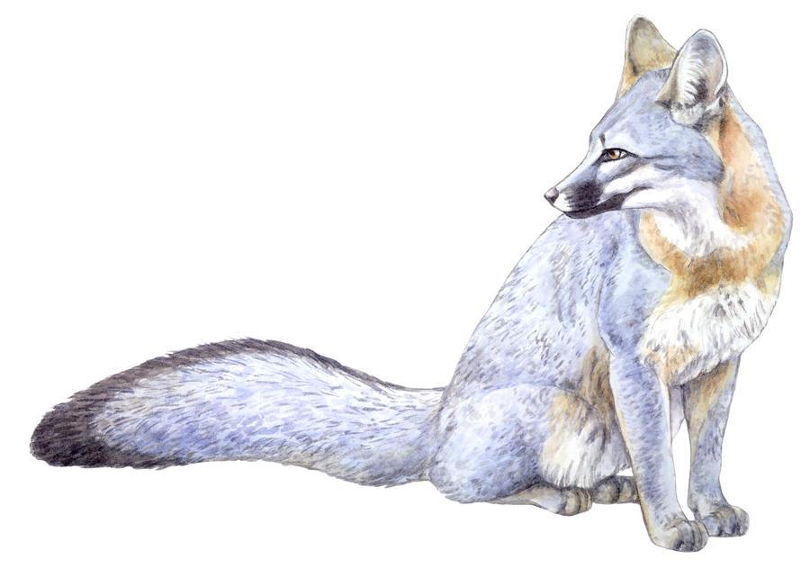 gray fox by silvercrossfox on deviantart