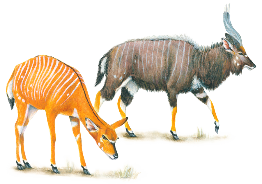 Male and Female Nyala Antelope by silvercrossfox