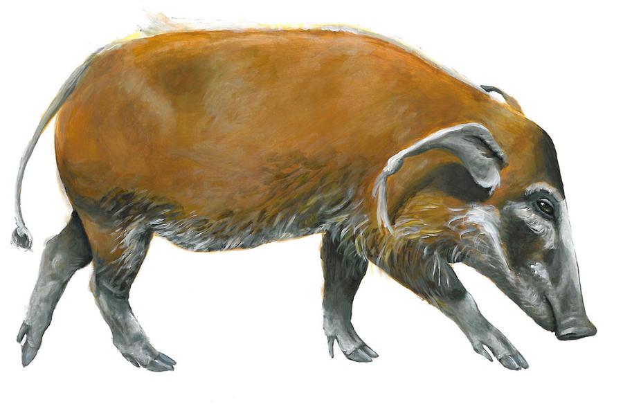Red River Hog by silvercrossfox