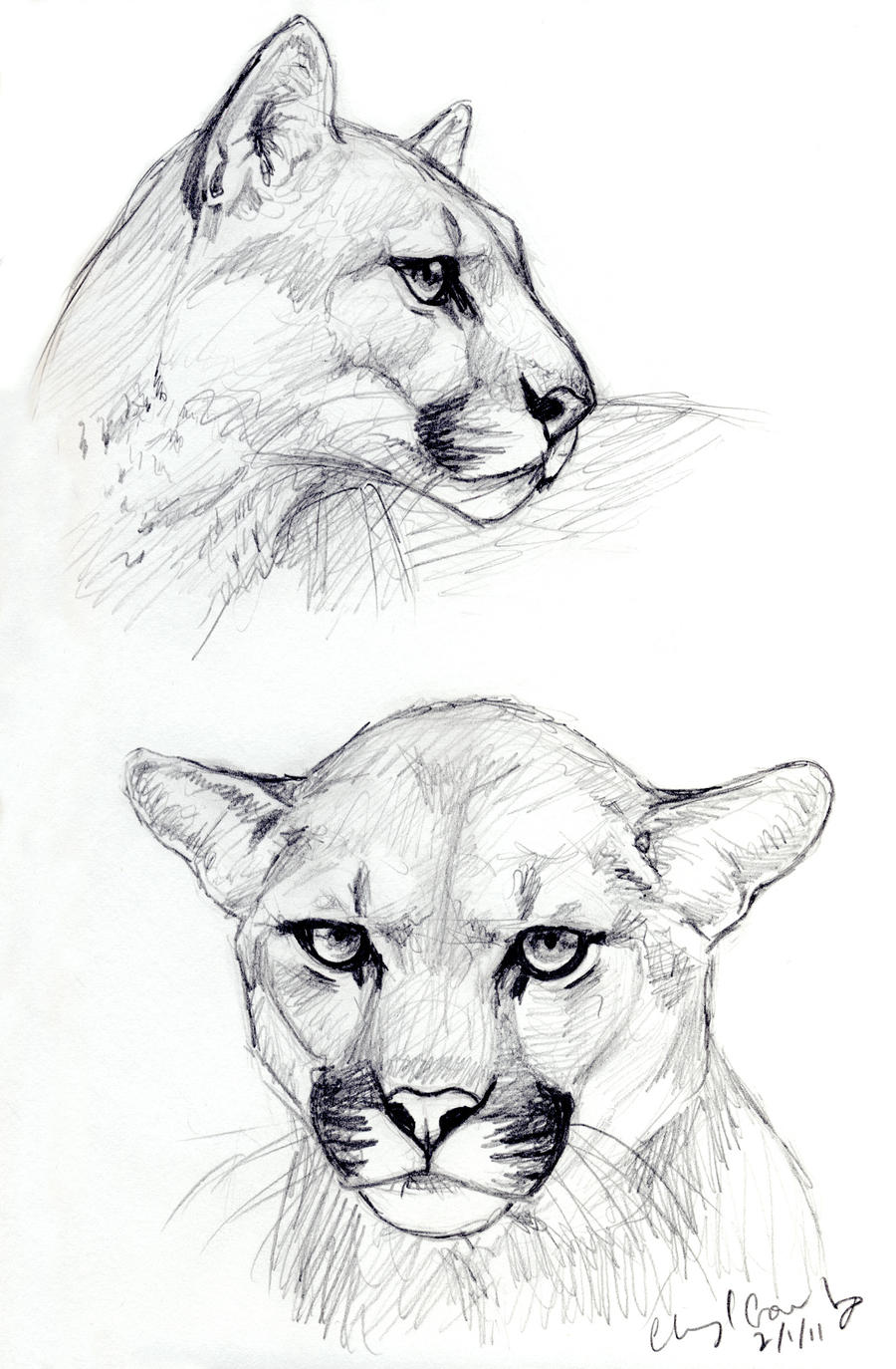 Cougar Face Line Drawing : Cougar sketches by silvercrossfox on deviantart