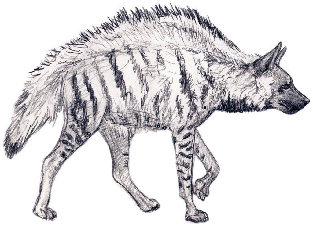 Stripped Hyena Sketch by silvercrossfox