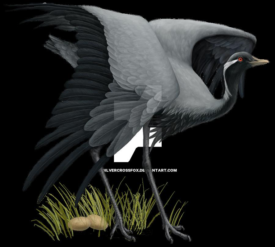 Demoiselle Crane defending eggs by silvercrossfox