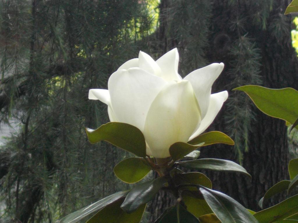 Magnolia by RavenDeer84