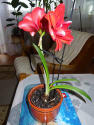 Amaryllis Plant - 2020