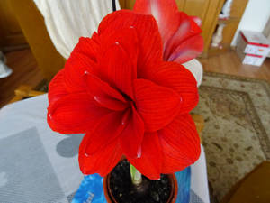 Amaryllis Flower - 2020