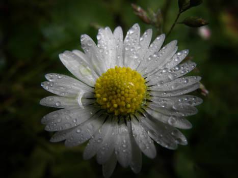 Sparkle Daisy