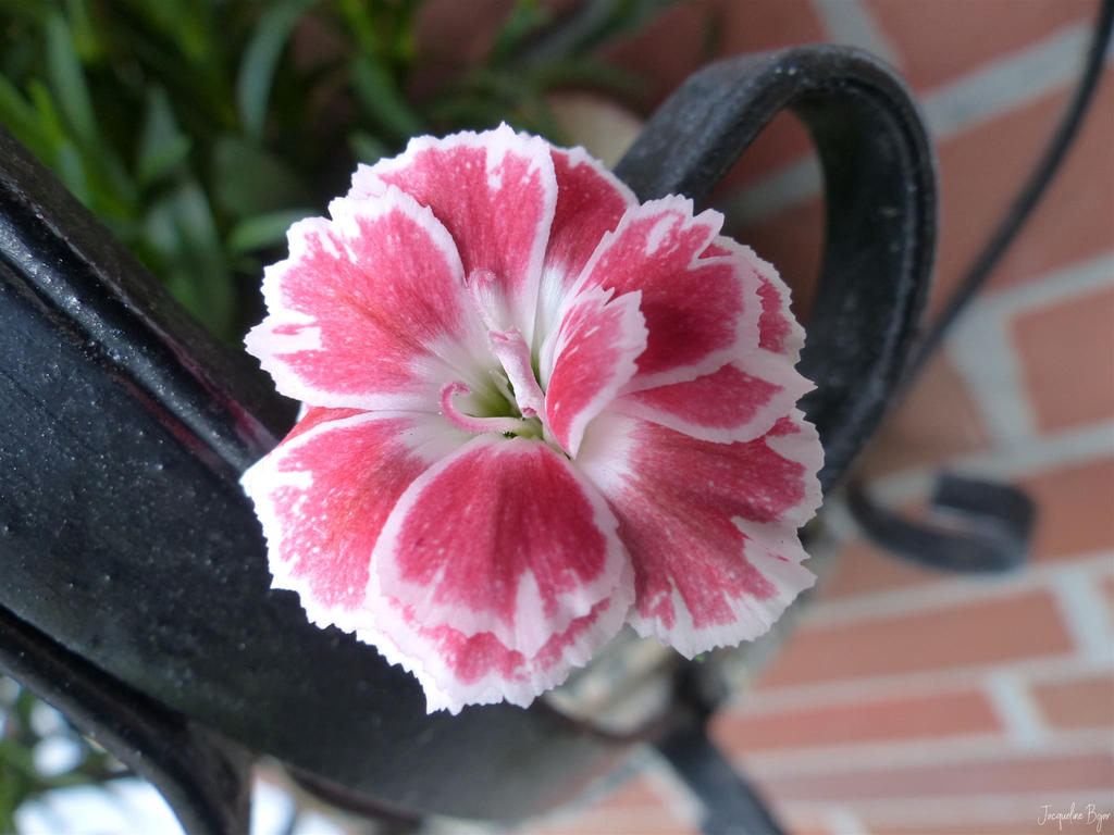 A pink little Wonder by JacqBoja