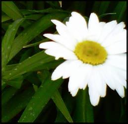 Daisy by jazzgo