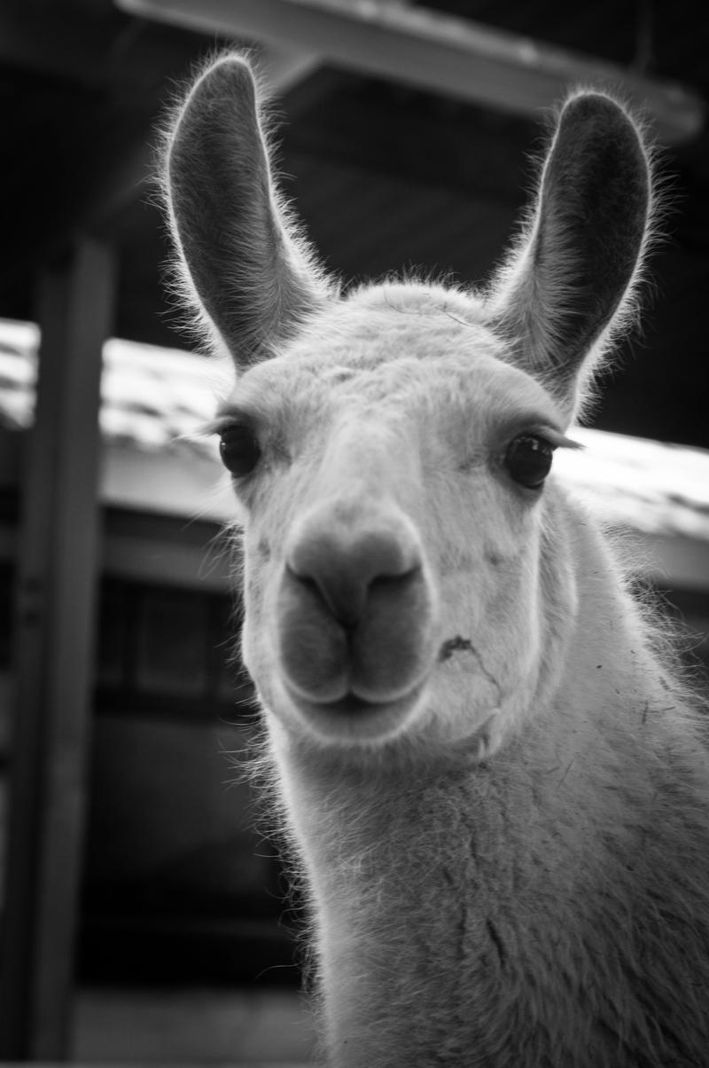 Llama by KateJones92