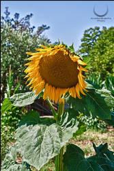 Sunflower by Braioz