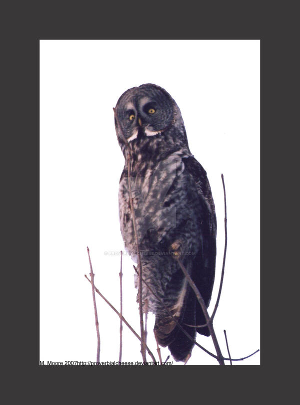 Great Grey Owl Encounter 3 by proverbialcheese