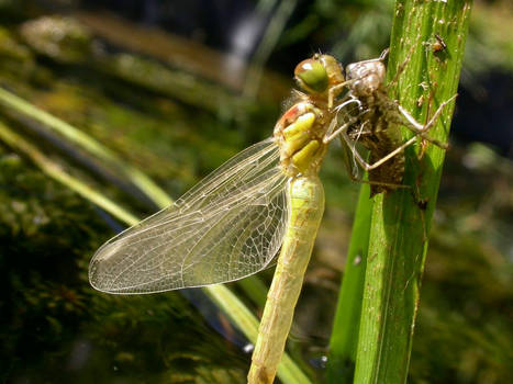 dragonfly emerging from nymph 1