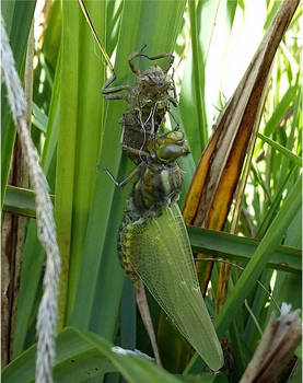 birth of dragonfly3