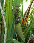 birth of dragonfly3 by beajaye1