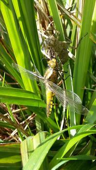 birth of dragonfly6