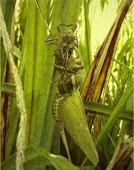 birth of a dragonfly10
