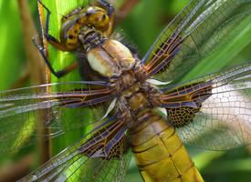 Dragonfly broadback chaser