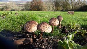 Stoughton Down Parasol mushhroms Nov 19