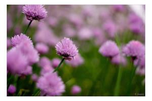 Allium schoenoprasum by Juuro