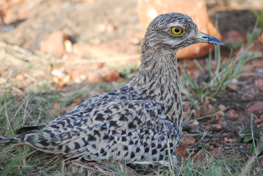 Francolin nesting by artlovr59