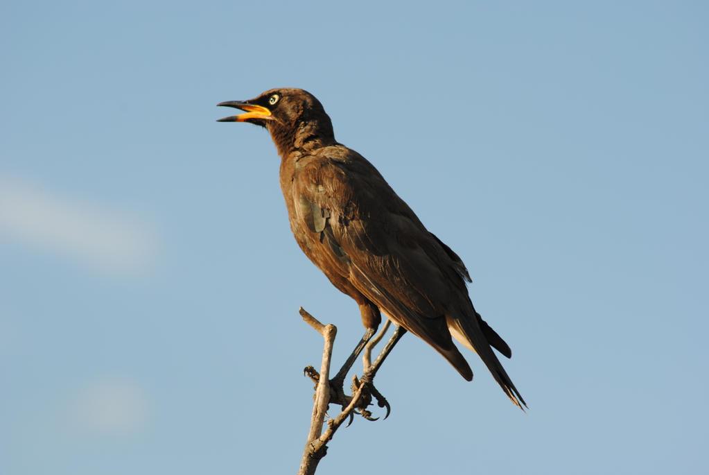 Pied Starling by artlovr59