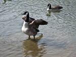 canadian geese III