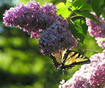 Butterfly on the Lilac