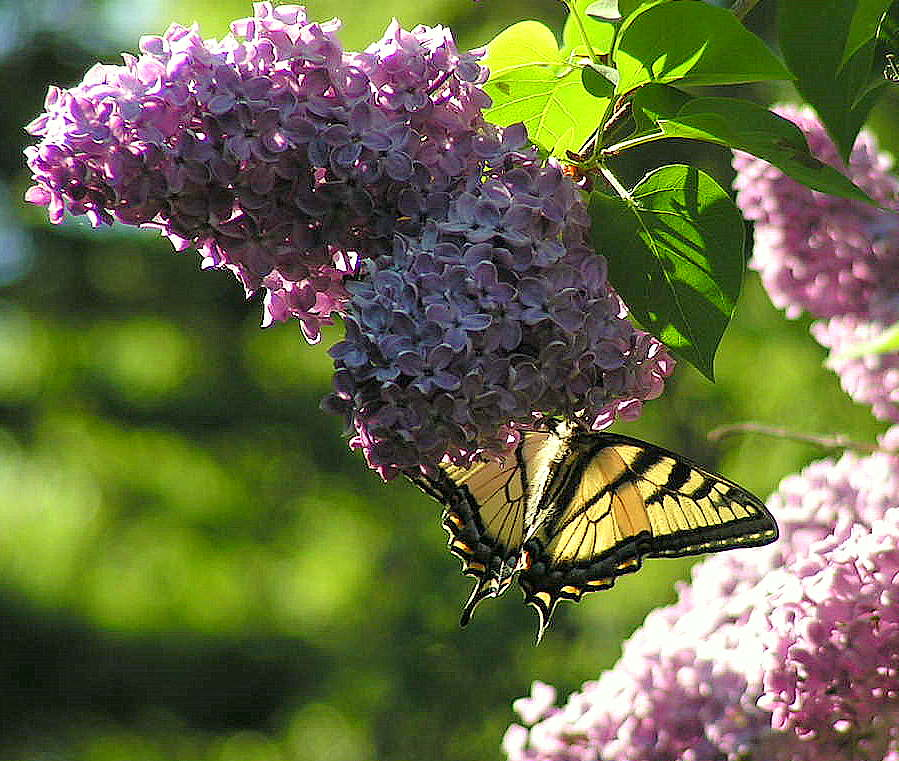Butterfly on the lilac by jocelyner on deviantart for Lilac butterfly wallpaper