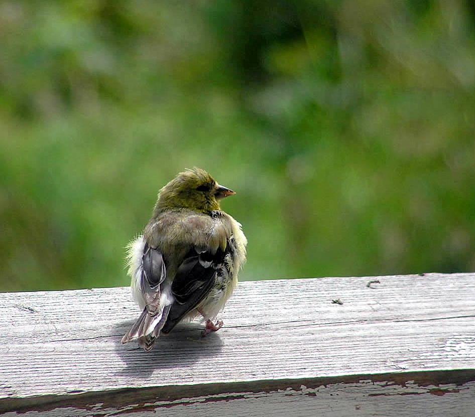 Baby American Goldfinch Alone by JocelyneR on DeviantArt