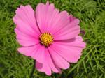 Pink Cosmos by JocelyneR