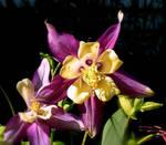 Violet Colombines