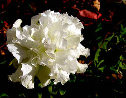 White Petunia by JocelyneR