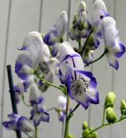 Blue and White Delphinium by JocelyneR