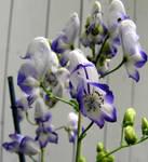 Blue and White Delphinium