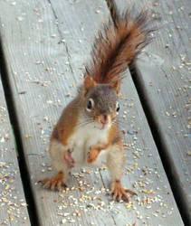 My Friend, the Squirrel... by JocelyneR