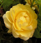 The Sole Rose of the Summer