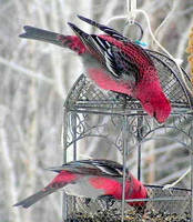 Male Pine Grosbeaks by JocelyneR
