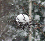 Snow Ball on the Lilac