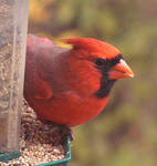 A Northern Cardinal